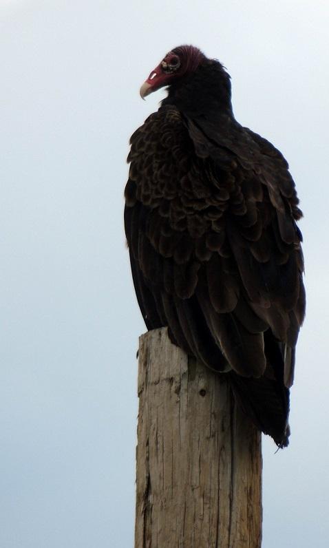 farmyard vulture.jpg