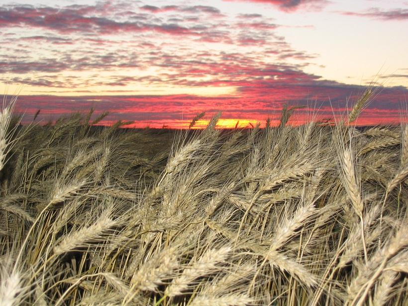 sunrise morning barley.jpg