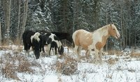 feral alberta horses.jpg